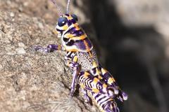 Dactylotum Bicolor